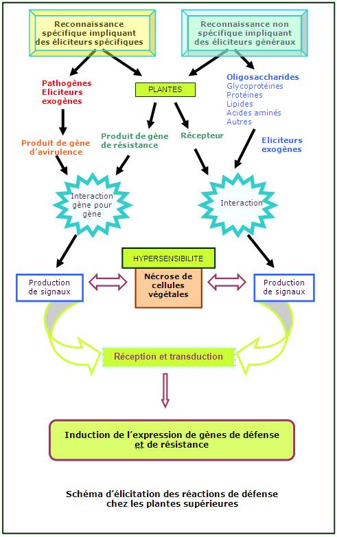 Schéma d'élicitation des réactions de défense  chez les plantes supérieures
